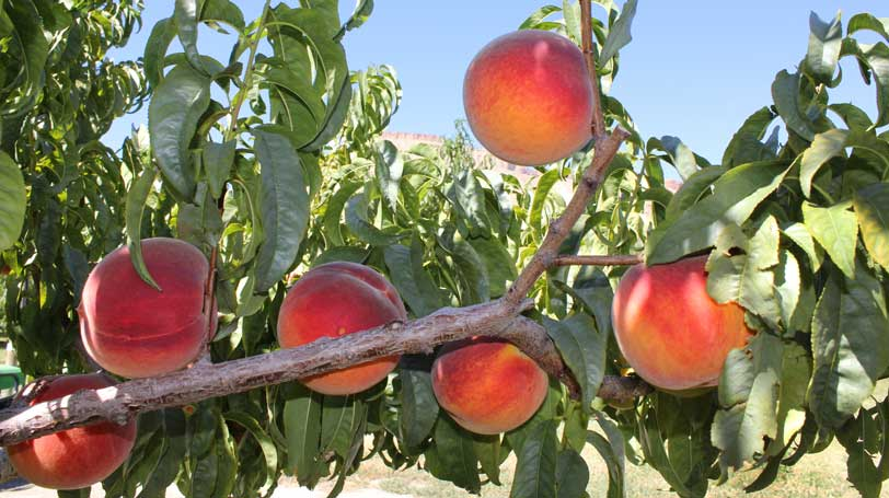 peaches-branch-harvest
